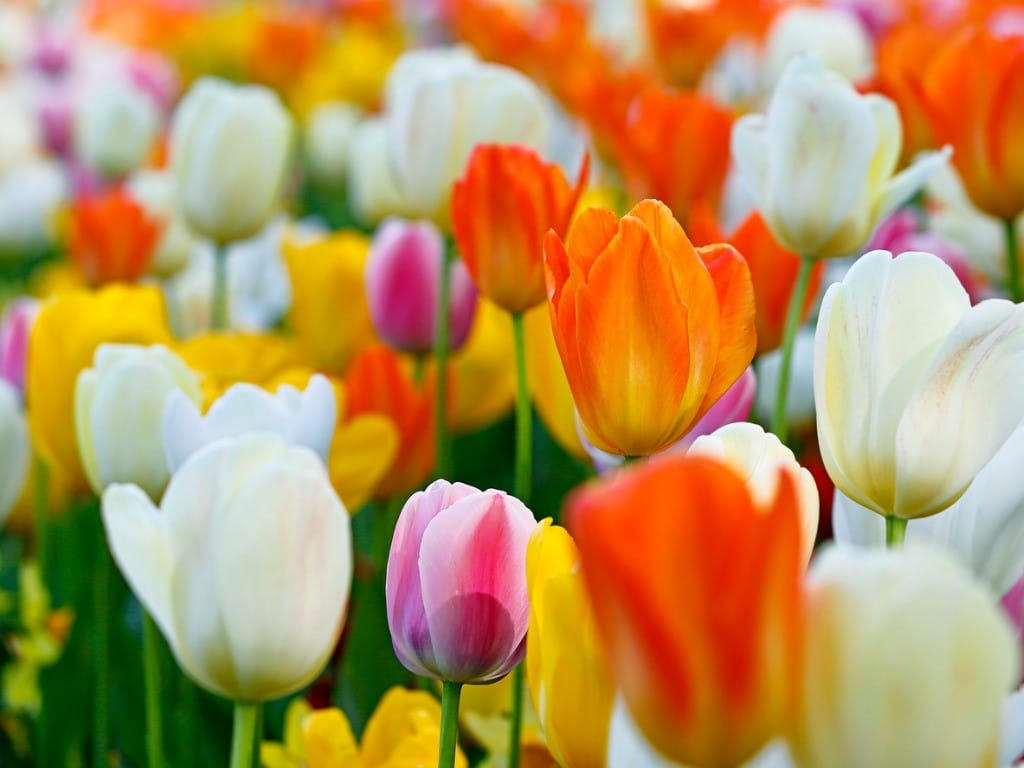closeup of colorful tulips