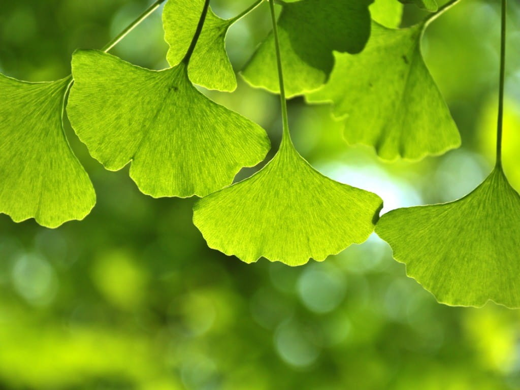 the medicinal benefits of the ginkgo leaf in china Benefits of ginkgo leaf extract best cognitive enhancer ginkgo biloba has become popular as an herbal remedy for it's effects on memory, memory loss , concentration and headaches.