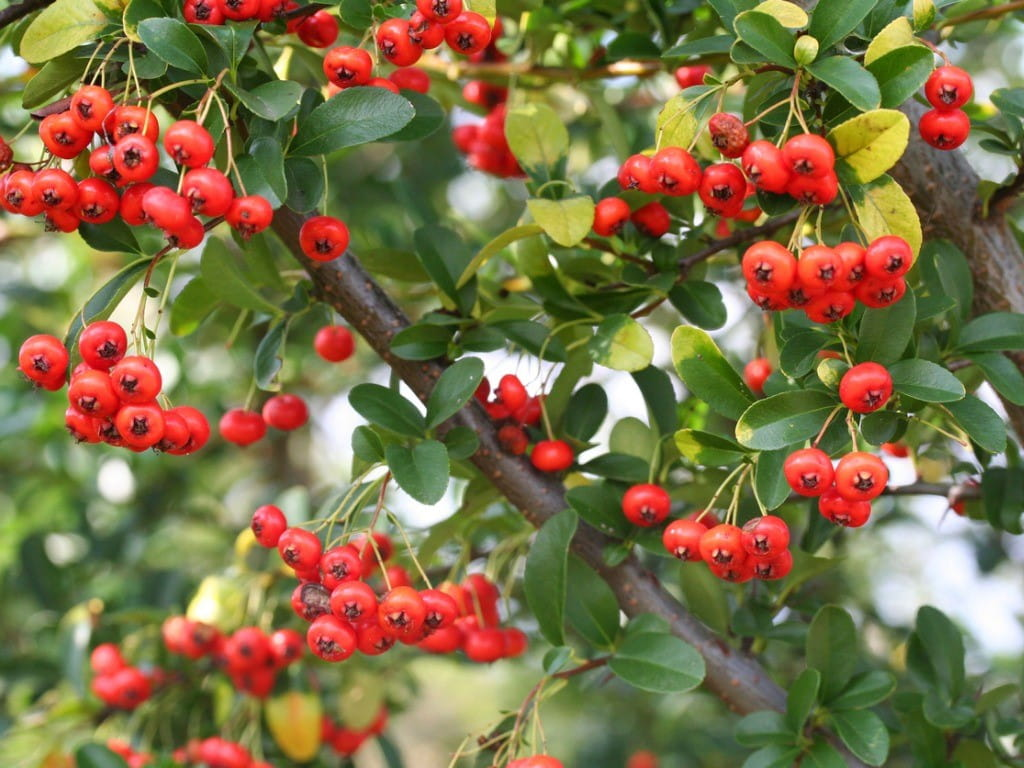 pyracantha berries and leaves closeup