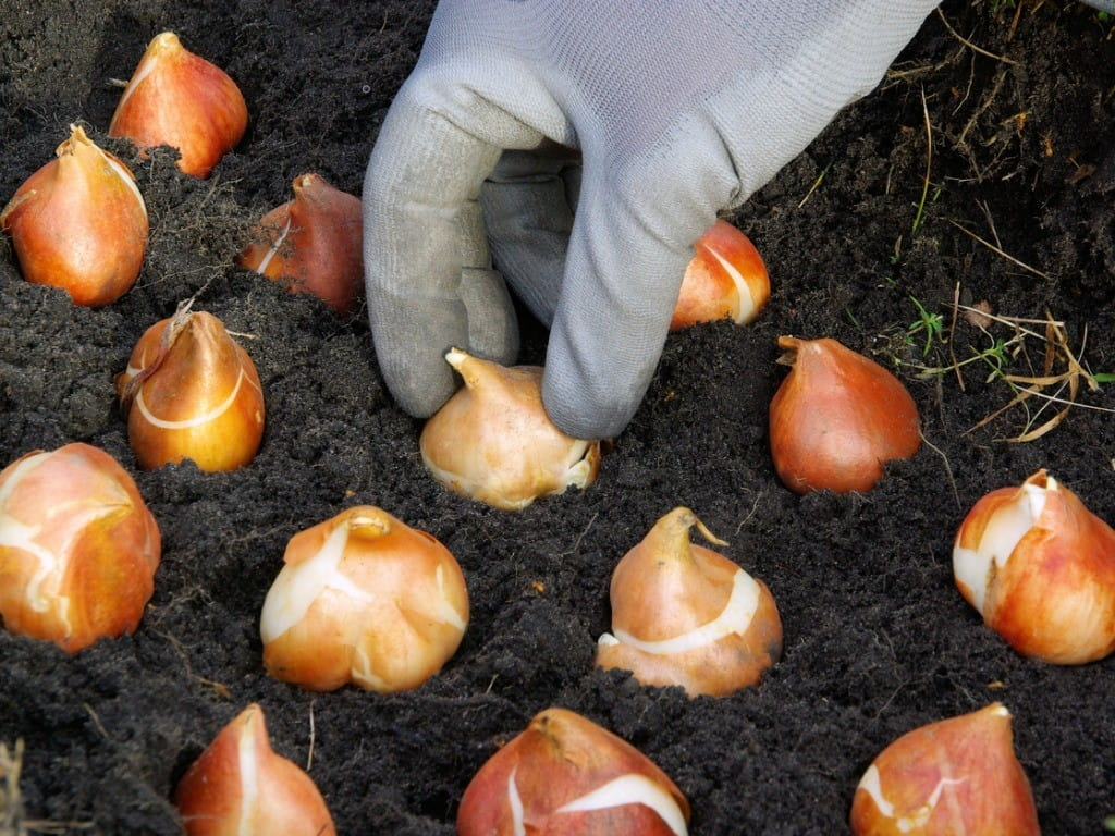 planting tulip bulbs while wearing gloves